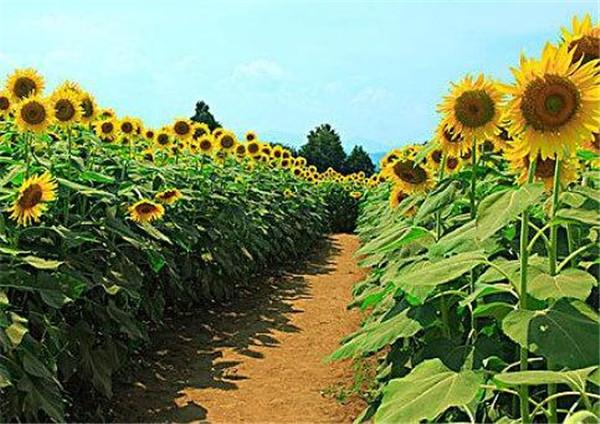 向日葵放家里吉不吉利 向日葵盆栽花谢了还能活吗