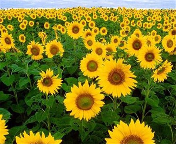 向日葵如何做成干花 花店买的向日葵能养几天
