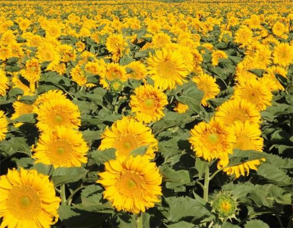 向日葵怎么包花束 送男朋友什么花最有意义