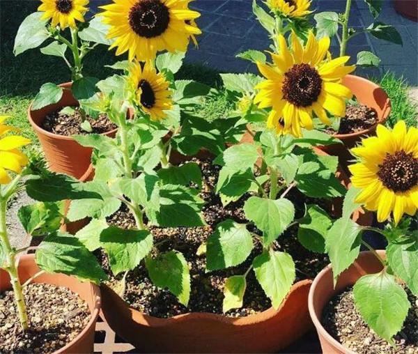 向日葵叶子发黄枯萎怎么办 向日葵叶子发黑怎么回事