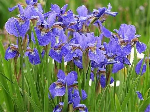 鸢尾花耐寒最低温度 冬季里最耐寒的15种花卉