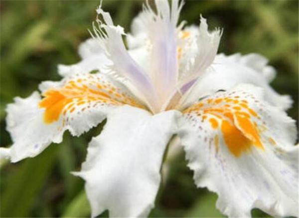 白色鸢尾花有毒吗 白色鸢尾花的寓意和象征