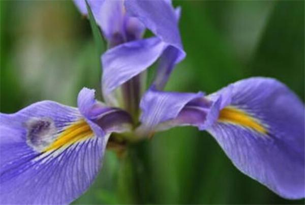 鸢尾兰的养殖方法和注意事项 鸢尾兰叶子黄了怎么办