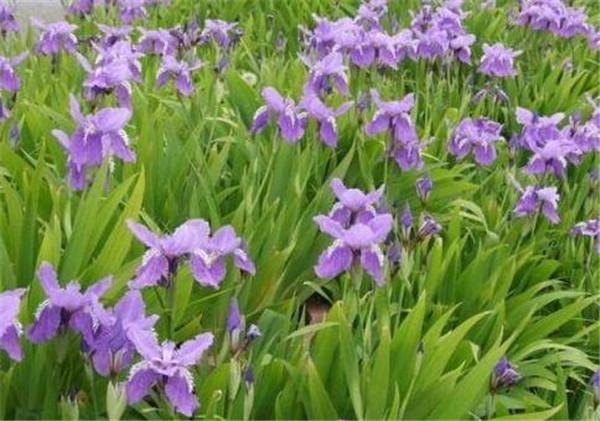 鸢尾草怎样种植 鸢尾草精油的功效和作用