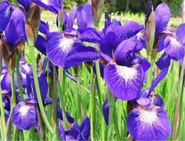 鸢尾科植物有哪些 鸢尾和兰花的区别