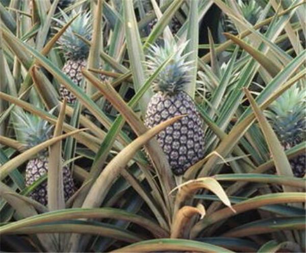 凤梨和菠萝的区别 菠萝的功效与作用禁忌
