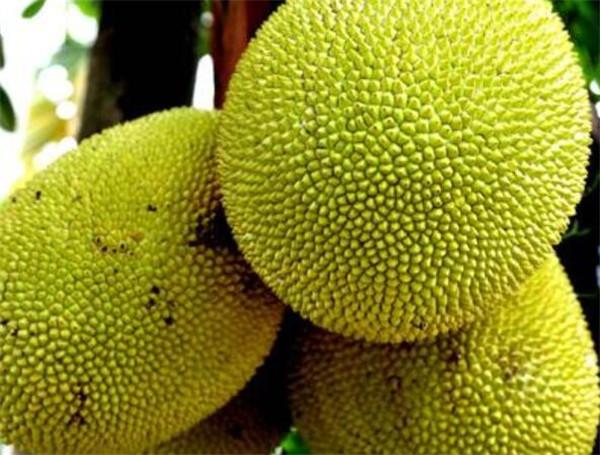大树菠萝怎样才算成熟 大树菠萝的粘液怎么洗