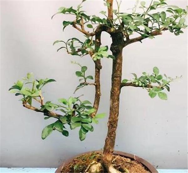 九里香招蛇是真的吗 容易招蛇的植物有哪些