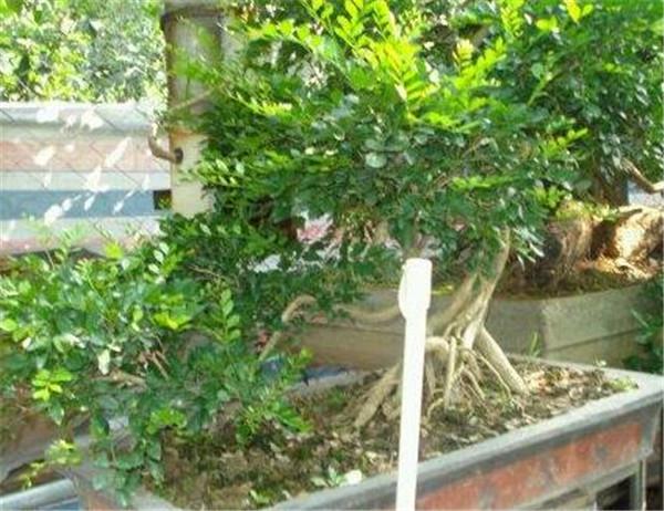 九里香树叶常见病害 九里香叶子发黄落叶怎么回事
