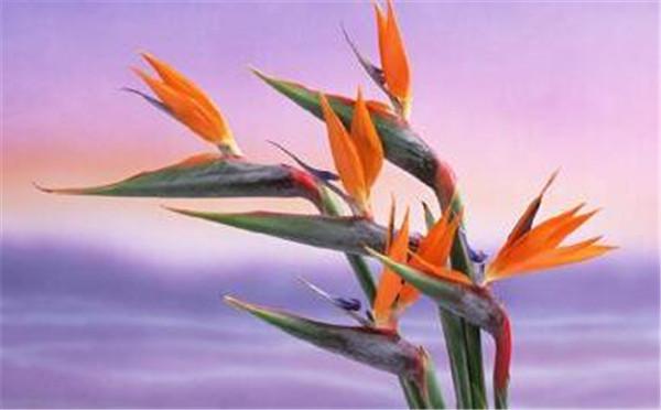 天堂鸟的花语寓意 天堂鸟花适合家里养吗
