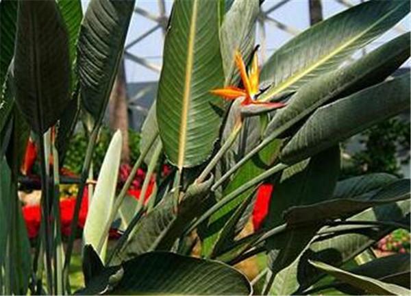 天堂鸟为什么会卷叶开裂 天堂鸟叶子有黑斑怎么办