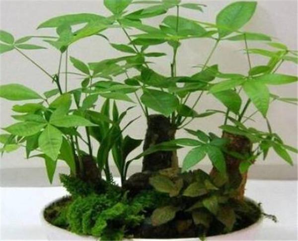 发财树怎么养才长得好 发财树的价格多少钱一盆