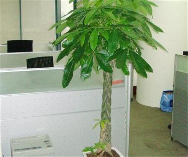发财树的养殖方法和注意事项 发财树风水摆放三不要