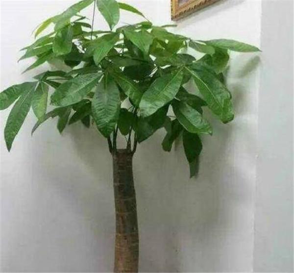 发财树叶子发黄脱落怎样回事如何挽救 如何养好发财树