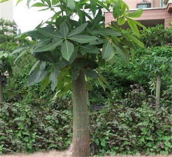 发财树死了是什么征兆 发财树放在进门左边还是右边