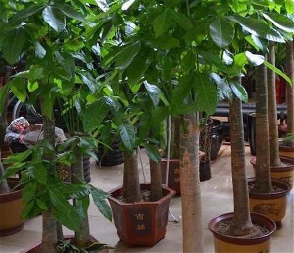 发财树多久浇一次水 发财树怎么用肥