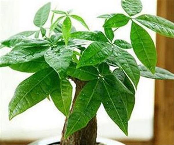 发财树水培怎么生根 发财树严重缺水症状