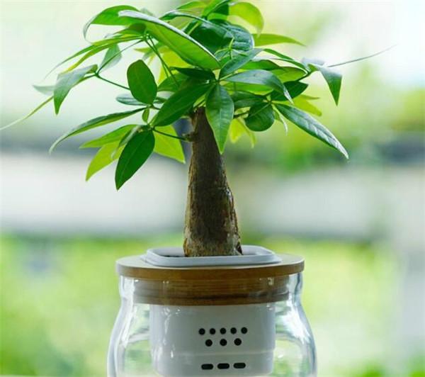 发财树掉叶子一碰就掉 招财树叶子耷拉下去了原因