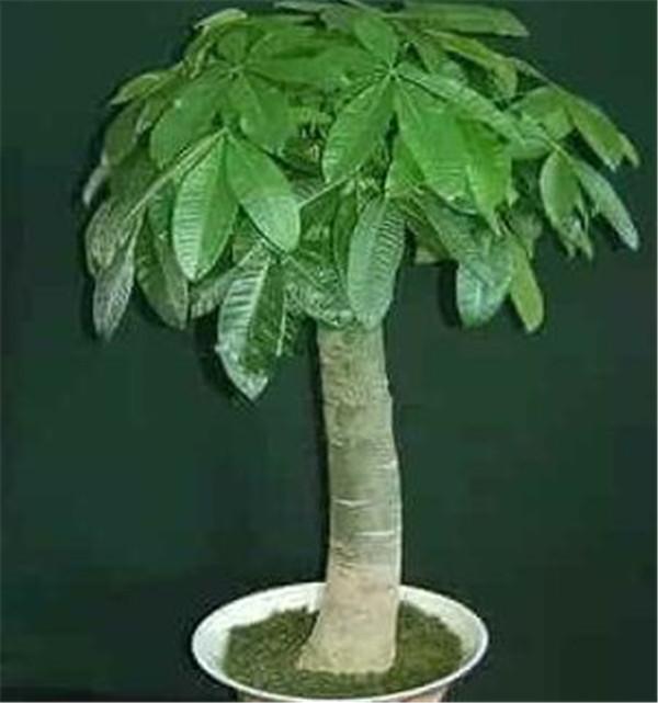 发财树摆在客厅什么位置好 发财树放阳台风水宜忌