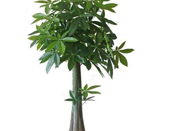 发财树如何扦插 发财树叶子生根方法