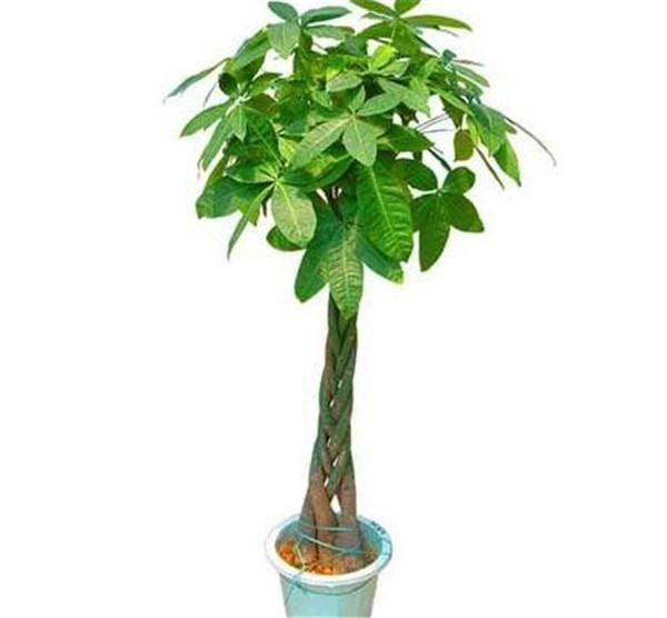 发财树怎样移盆 发财树压钱在盆里还是盆底