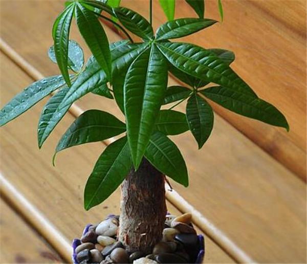 发财树常见病害有哪些 发财树叶子生病虫害打什么药