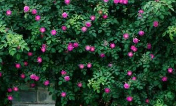 蔷薇花期过后怎么修剪 蔷薇花期最久的品种