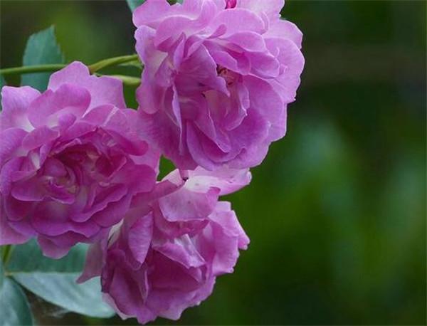 蔷薇花和月季花的区别 蔷薇什么时候开花
