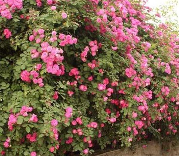 蔷薇花的花语和传说 蔷薇的寓意和象征是什么