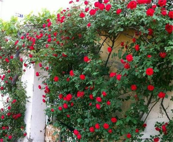 蔷薇一年四季都开花吗 一年四季都开花的爬藤植物有哪些