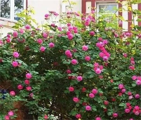 蔷薇花几年能爬满墙 有利风水的爬藤植物有哪些