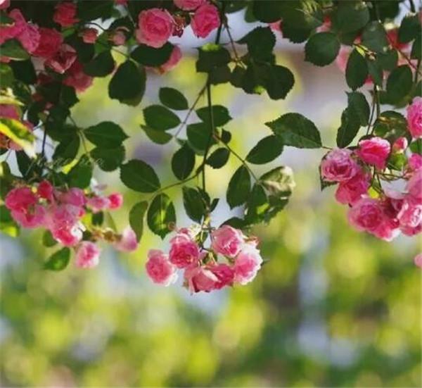 蔷薇扦插一般在几月 蔷薇怎么修剪才开花