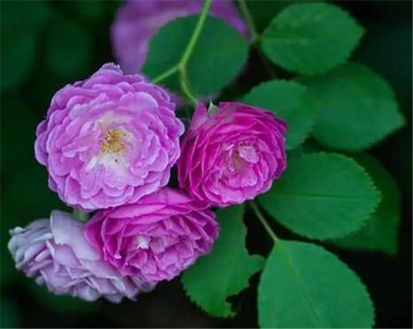 蔷薇花的养殖方法和注意事项 蔷薇哪个品种好看