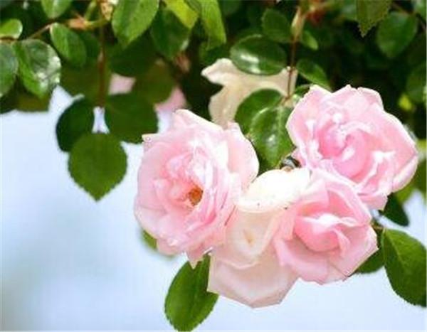 蔷薇花叶子发黄枯萎脱落怎么办 蔷薇花浇水多好还是少好