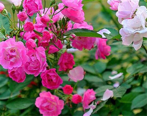 蔷薇花叶子发白怎么办 蔷薇花黄叶掉叶是什么原因