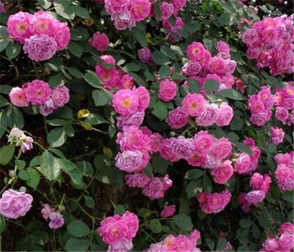 野蔷薇怎么嫁接月季 蔷薇嫁接月季最佳时间