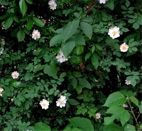 野蔷薇老桩什么时候挖 野蔷薇老桩的扦插方法