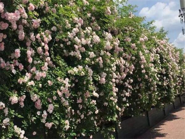 蔷薇花叶子掉光了怎么办 蔷薇花移栽带根能活吗