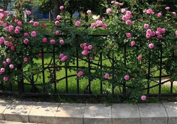 蔷薇苗多少钱一株 蔷薇扦插多久生根