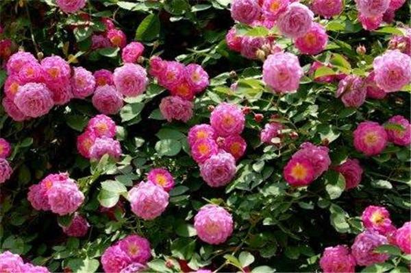 蔷薇只长叶不开花怎么办 蔷薇叶子干枯还能活吗