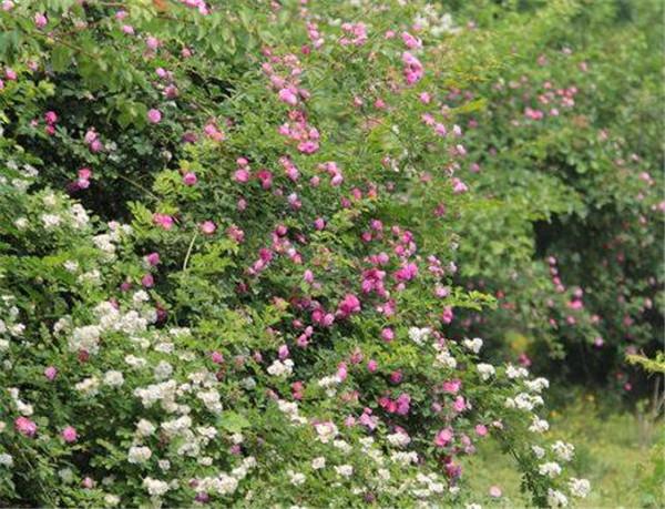 野蔷薇和蔷薇的区别 野蔷薇的功效与作用