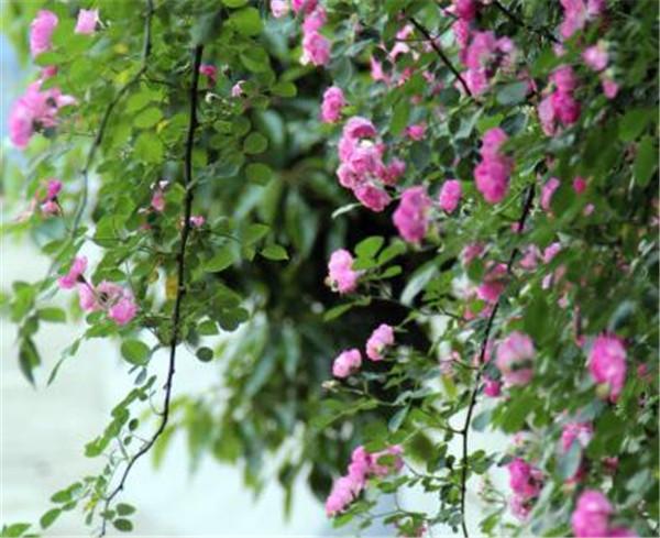 野蔷薇怎么养 野蔷薇一般生长在什么地方