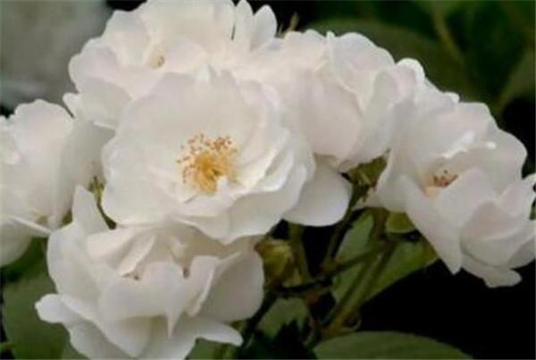 白蔷薇的花语是什么 白蔷薇花什么时间开花