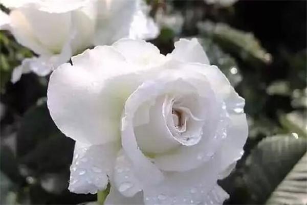 白蔷薇和白玫瑰的区别 白蔷薇怎么养