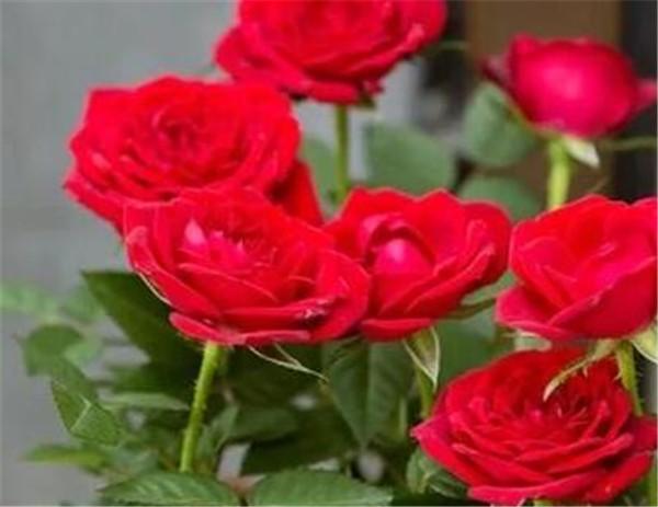 月季和玫瑰的区别 带刺的玫瑰会扎手吗