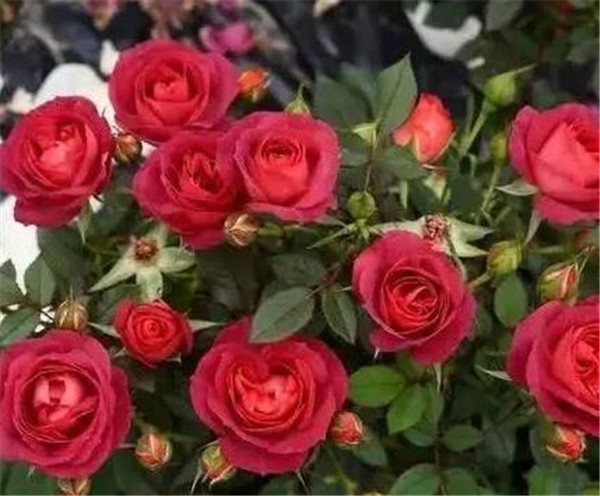 玫瑰花期一般是几月份 1到100朵玫瑰的花语和含义
