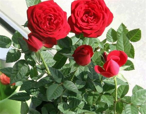 玫瑰花送几朵代表什么 玫瑰花适合送给什么样的人