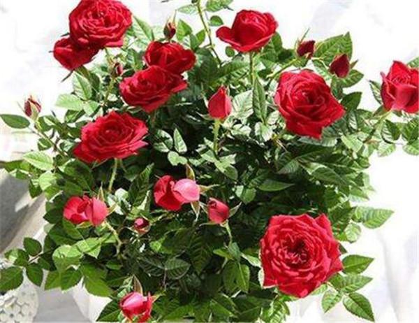 送女朋友玫瑰花送多少朵合适 结婚送几朵玫瑰花合适