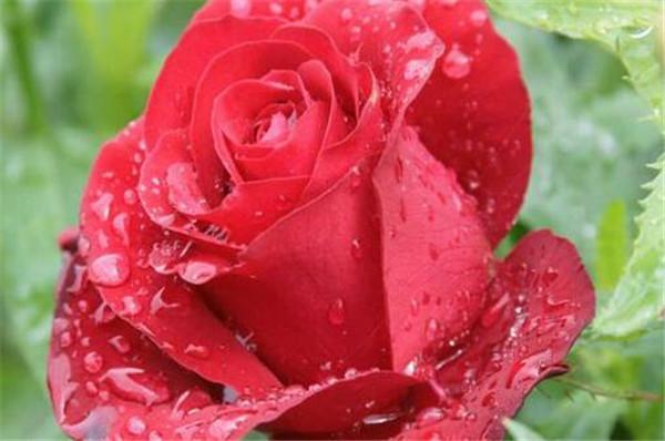 送玫瑰花有什么讲究吗 送男朋友玫瑰花多少朵合适