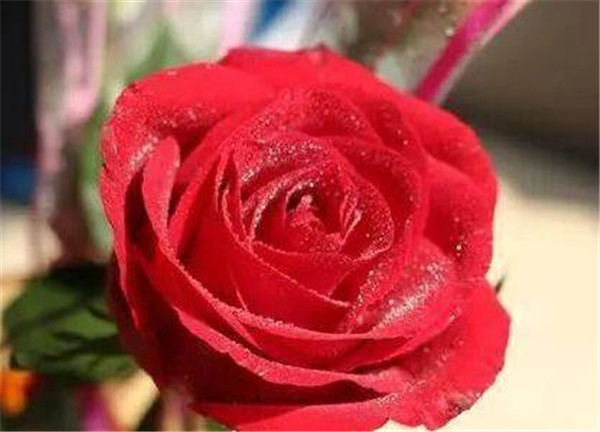 玫瑰花怎么保鲜才不会枯萎 玫瑰花束保鲜一个月的方法